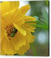 Yellow Cosmos Flower Canvas Print