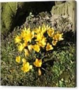 Yellow Crocus 1 Canvas Print