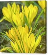 Yellow Crocuses Close Up Canvas Print