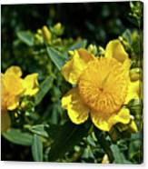 Yellow Crown Flower Canvas Print