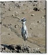 Yellow-crowned Night-heron Canvas Print