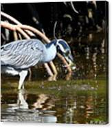 Yellow Crowned Night Heron Catches A Crab Canvas Print