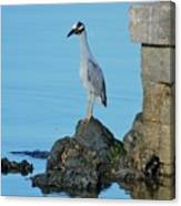Yellow Crowned Night Heron Rocking It Out Canvas Print