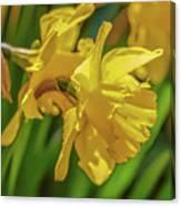 Yellow Daffodil May 2016. Canvas Print