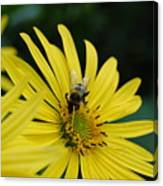 Yellow Daisy And Bee  Canvas Print