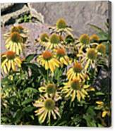 Yellow Echinacea, Straw Flowers Gray Stone Background 2 9132017  Canvas Print