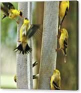 Yellow Finch Feeding Frenzy Canvas Print