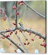Yellow Finch In Crab Apple Tree Canvas Print