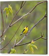 Yellow Finch In Spring Canvas Print