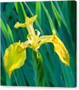 Yellow Flag Wildflower Canvas Print
