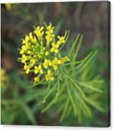 Yellow Flower Weed Canvas Print