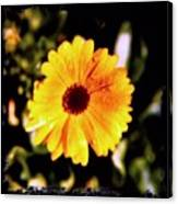 Yellow Flower With Rain Drops Canvas Print