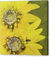 Yellow Gazanias And Bee  Canvas Print