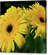 Yellow Gerbera Daisies By Kaye Menner Canvas Print