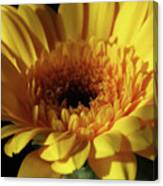 Yellow Gerbera Macro Canvas Print