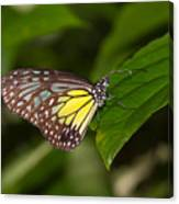 Yellow Glassy Tiger Butterfly Canvas Print