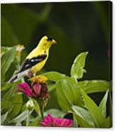 Yellow Goldfinch Canvas Print