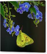 Yellow Grass Butterfly Canvas Print