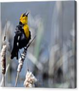 Yellow Headed Blackbird Canvas Print
