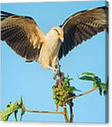 Yellow-headed Caracara Milvago Canvas Print