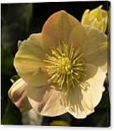 Yellow Helleborus Canvas Print