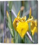 Yellow Iris Wild Flower Canvas Print