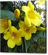 Yellow Jasmine Canvas Print