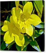 Yellow Jessamine At Pilgrim Place In Claremont-california Canvas Print