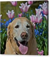 Yellow Lab And Tulips Canvas Print