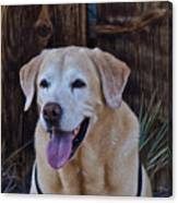 Yellow Lab At Bodie Canvas Print