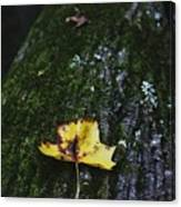 Yellow Leaf On Mossy Tree Canvas Print