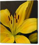 Yellow Lily 1 Canvas Print
