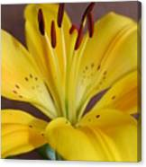 Yellow Lily 2 Canvas Print