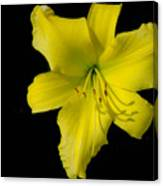 Yellow Lily Flower Black Background Canvas Print