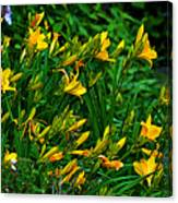 Yellow Lily Flowers Canvas Print