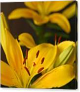 Yellow Lily Mirror Canvas Print
