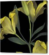 Yellow Lily On Black Canvas Print