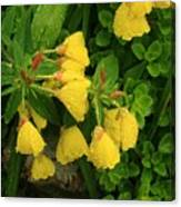 Yellow Lungwort 3 Canvas Print