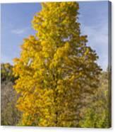 Yellow Maple Tree 1 Canvas Print