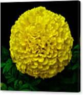 Yellow Marigold Flower On Black Background Canvas Print