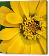 Yellow Monastery Zinnia Canvas Print