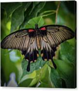 Yellow Mormon Canvas Print