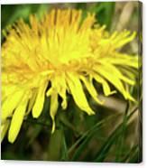 Yellow Mountain Flower's Petals Canvas Print