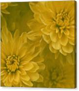 Yellow Mums Canvas Print