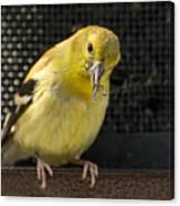 Lesser Female Goldfinch Having Lunch Canvas Print