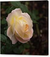 Yellow/pink Rose Canvas Print