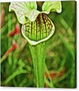 Yellow Pitcher Plant  In Huntington Botanical Gardens In San Marino-california  Canvas Print