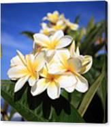 Yellow Plumeria Flowers On Maui Hawaii Canvas Print