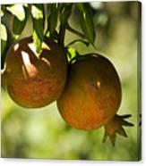 yellow Pomegranate Canvas Print