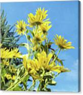 Yellow Posies Gazing At The Sky  Canvas Print